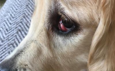Cherry eye eli koiran kirsikkasilmä